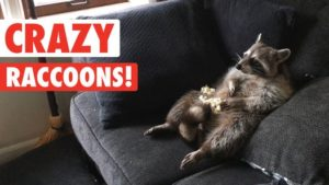 PET RACCOON HIGH ON WEED BROUGHT TO INDY FIREHOUSE